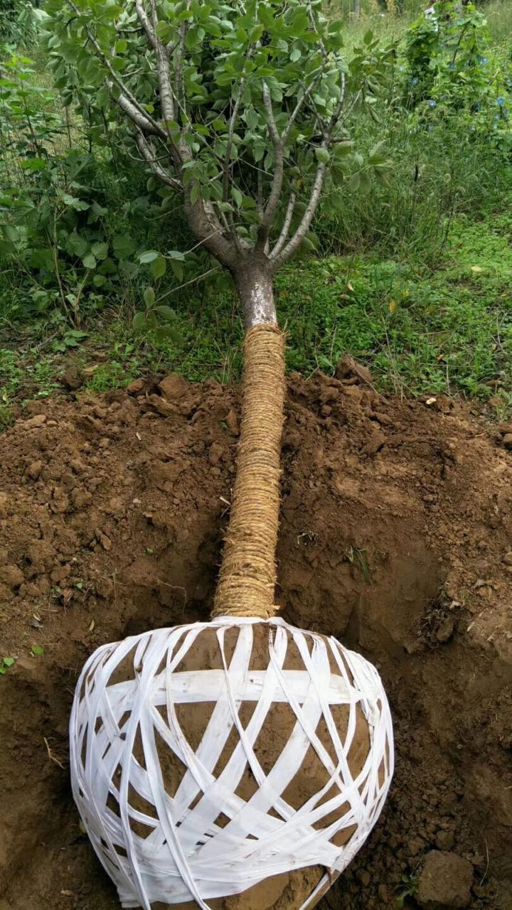 包树、花灌木移栽时用于土球包裹、地膜铺盖